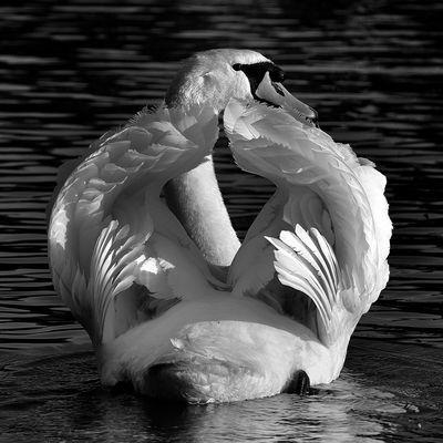 B&W Swan
