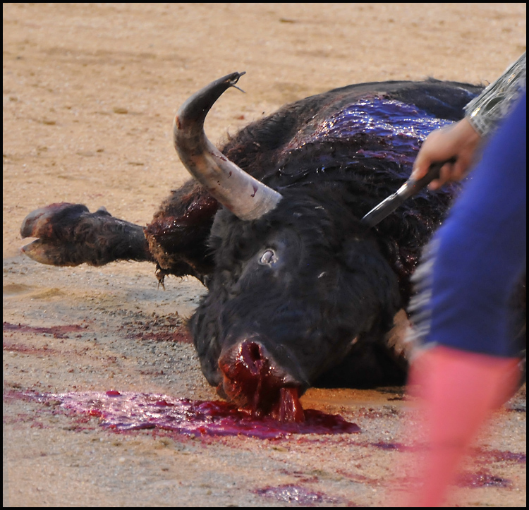 By the end it is always the bull who gets killed