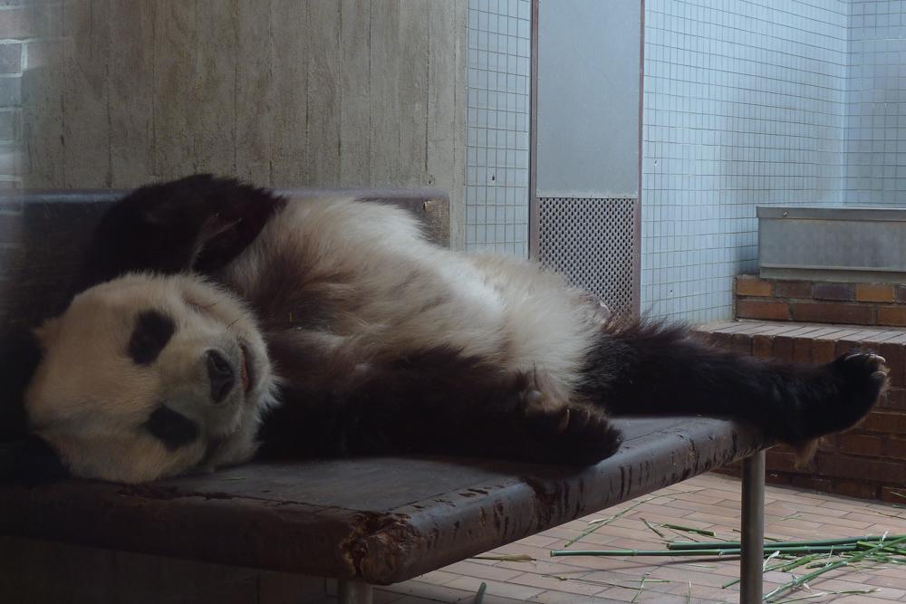 Bye Bye Bao Bao - Panda im Berliner Zoo