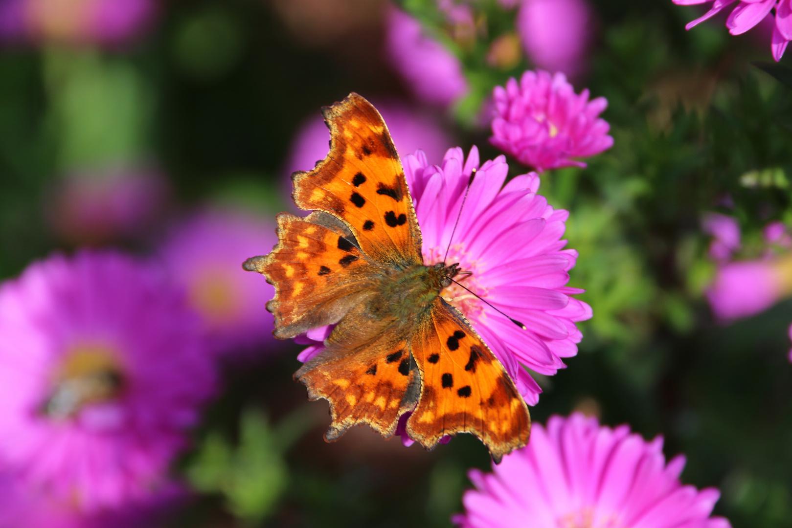 C-Falter auf Blume