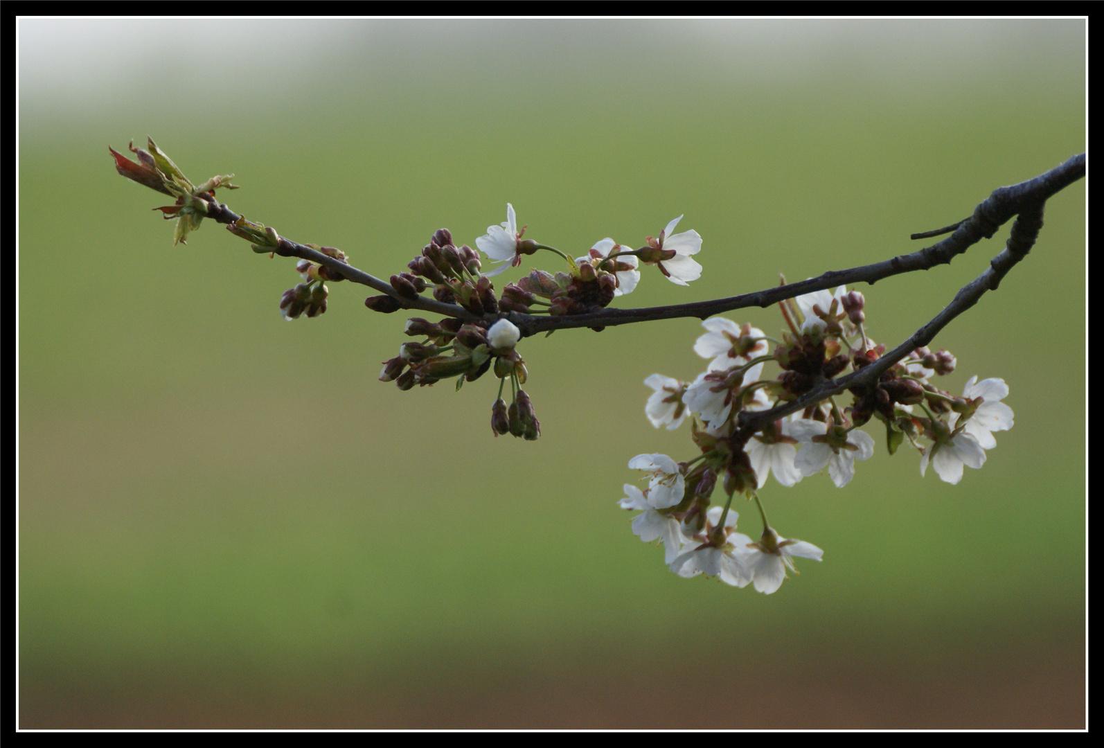 c le printemps