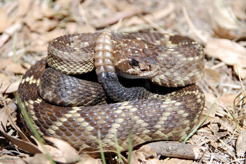 C. molossus