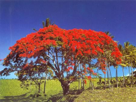 c t1 flamboyant, mon arbre préfére sur ile lol