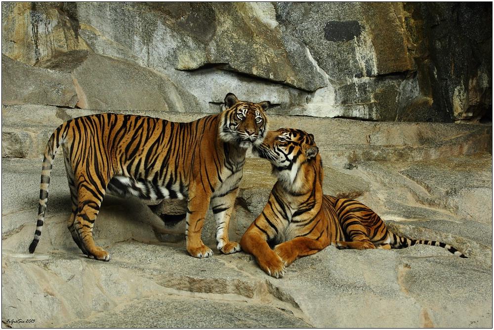 """(C) Wir zwei """"Sumatra-Tiger""""  ..."""