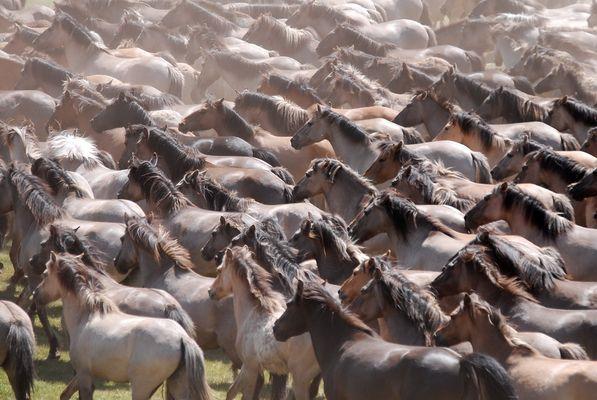 ca. 300 Wildpferde im Merfelder Bruch