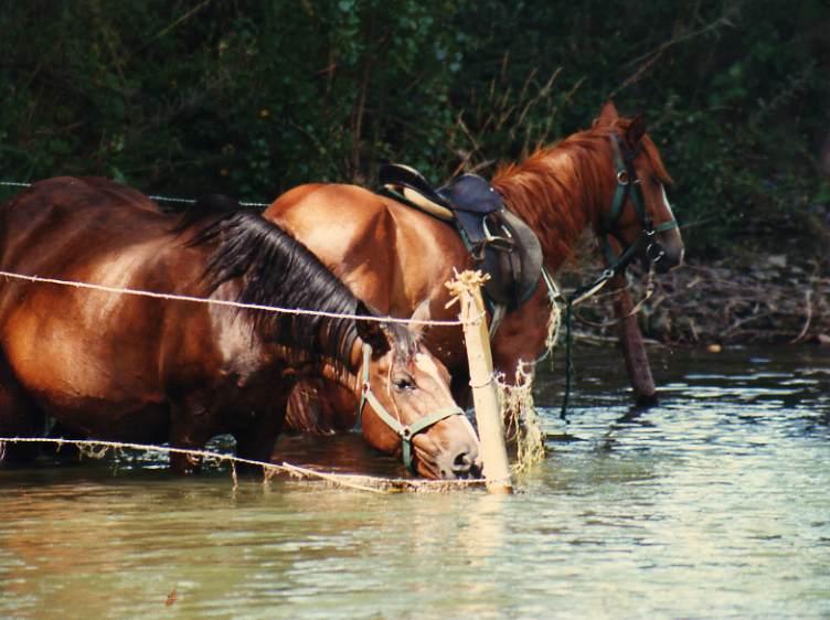 caballos bebiendo