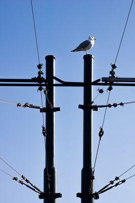 Cables, poteaux, goéland