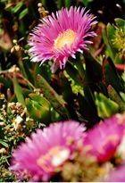 Cabo Espichel - Blütentraum