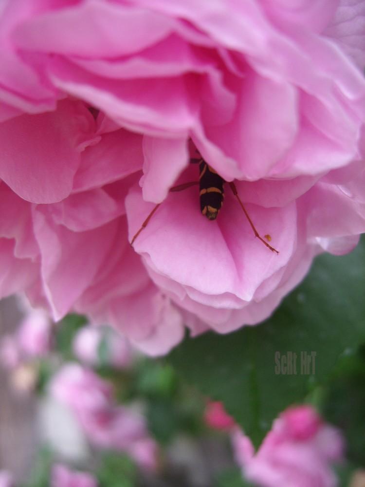 Cache-Cache à la Rose-Rose