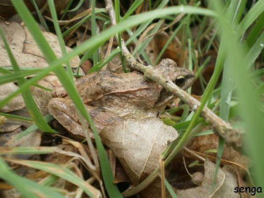 cachée la grenouille