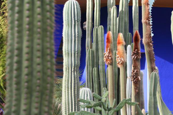 cactus à Majorel