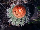 Cactus Brasil