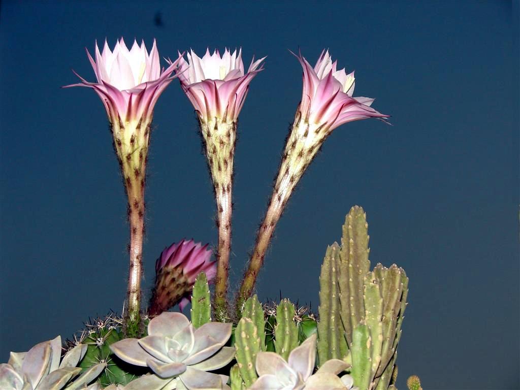Cactus et des fleurs