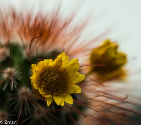 Cactus Flower 03