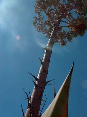 cactus from algarve