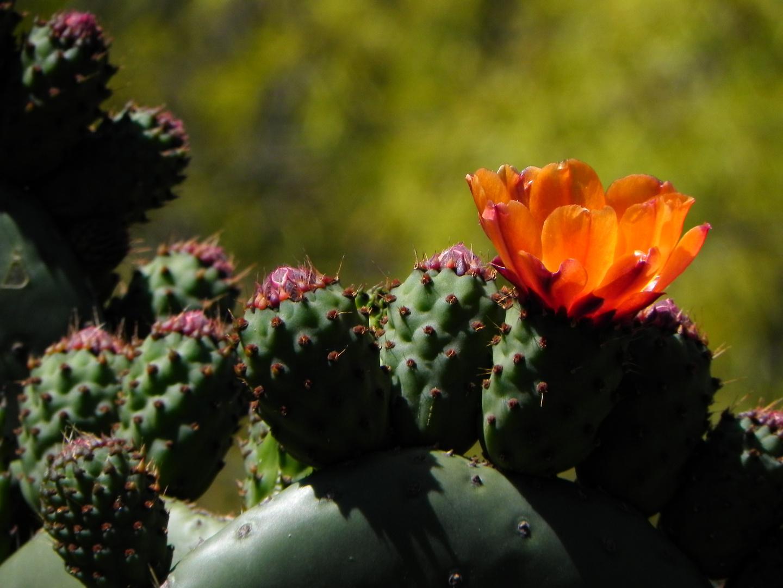 cactus in california