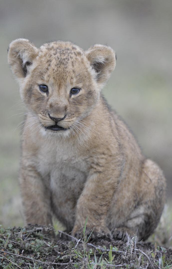 Cadrage serré sur un Lionceau tout sale