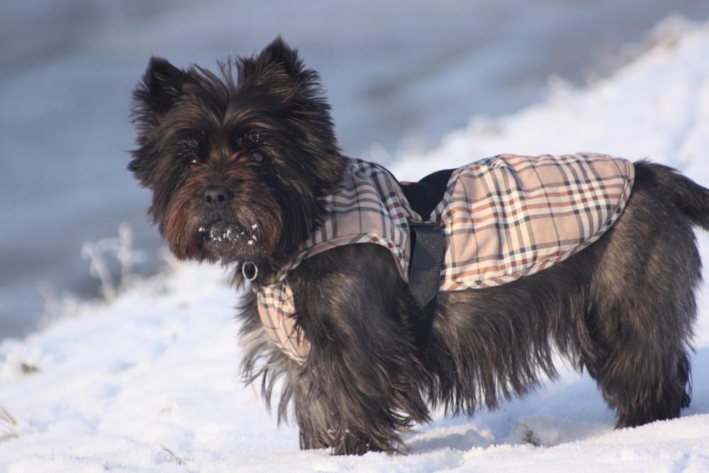 """Cairn Terrier """"Kimba"""" in schottischer Trachtenkleidung"""