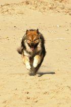 Caius am Strand von Noordwijk (11)