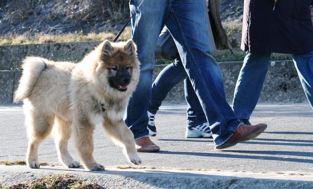 Caius von der Eschenburg 18 Wochen alt beim Spaziergang mit Anhang (Links 2,3,4)