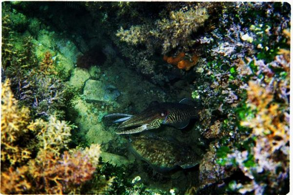 Calamare