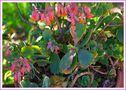 Calanchoe Grandiflora von Paolo JuliuS Sceusa
