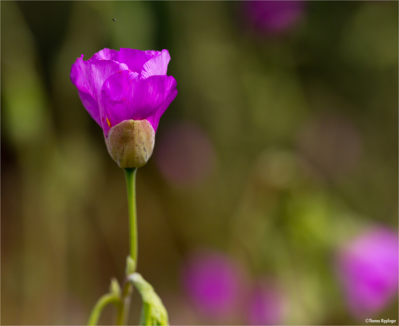 Calandrinia grandiflora