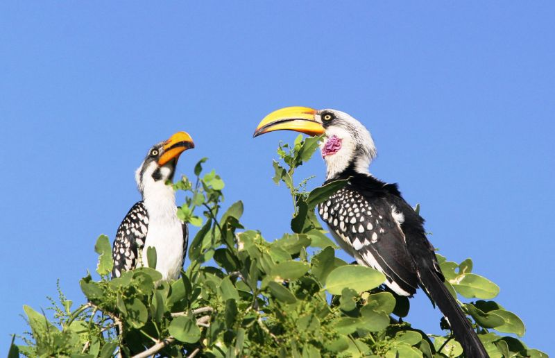 Calao à Bec Jaune (Eastern Yellow-billed Hornbill) - Kenya (modifié suite com de JB)
