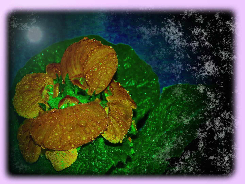 """""""Calceoloria"""" Pantoffelblume (?) -was es alles gibt-"""