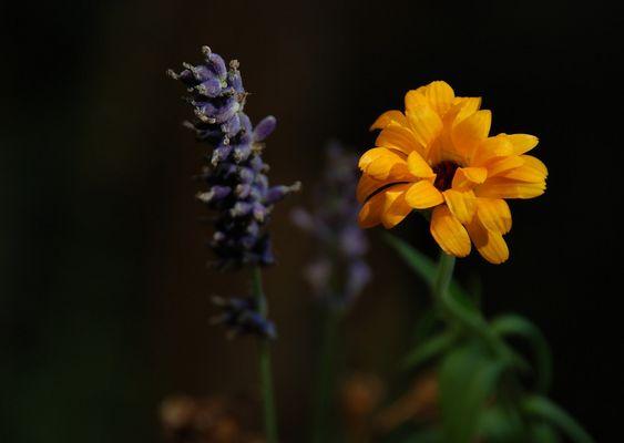 Calendula meets Lavendula