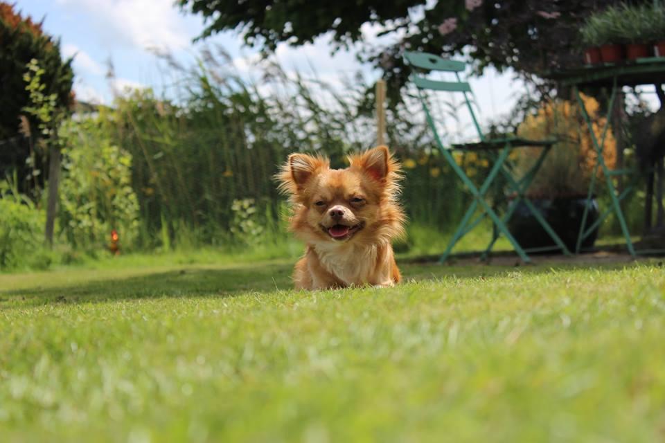 Calep (Chihuahua)