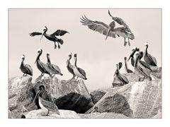 Californian Brown Pelican
