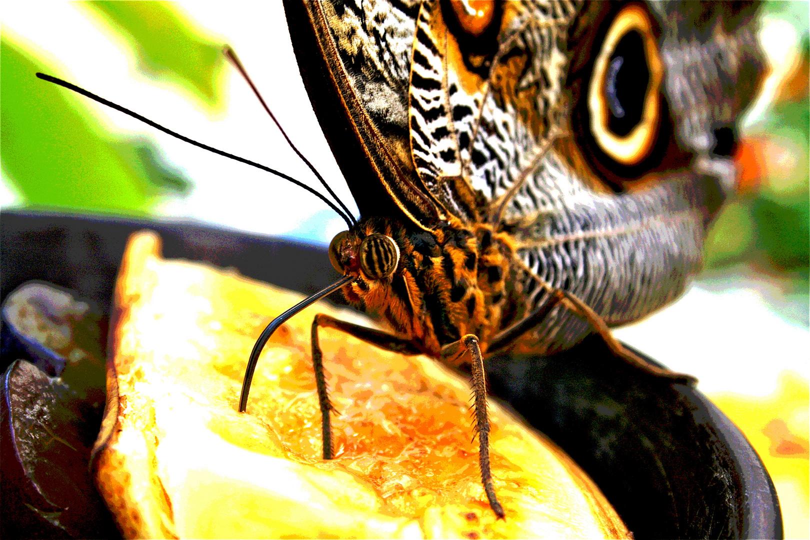 Caligo e.- Der Bananenfalter