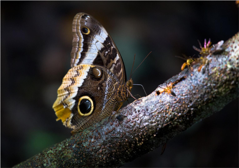 Caligo eurilochus im Cockscomb Nationalpark Belize