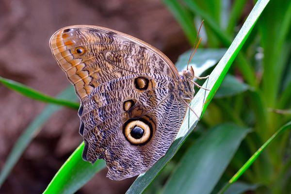 Caligo memnon ( farfalla civetta )