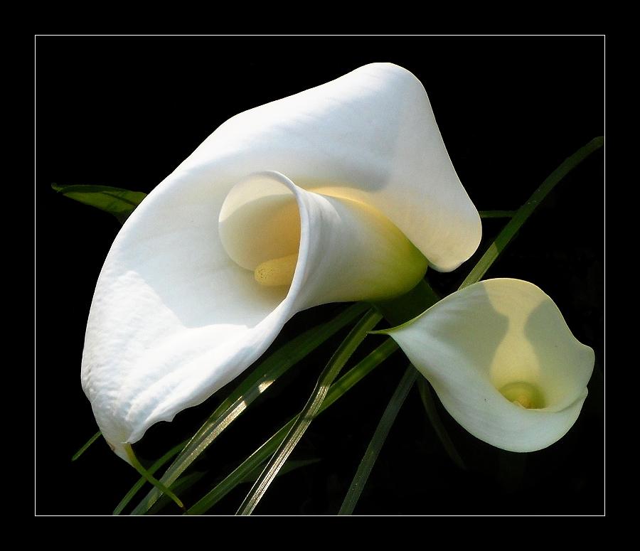 calla foto bild pflanzen pilze flechten bl ten kleinpflanzen gartenpflanzen. Black Bedroom Furniture Sets. Home Design Ideas