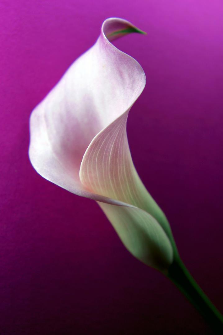 calla in lila foto bild pflanzen pilze flechten. Black Bedroom Furniture Sets. Home Design Ideas