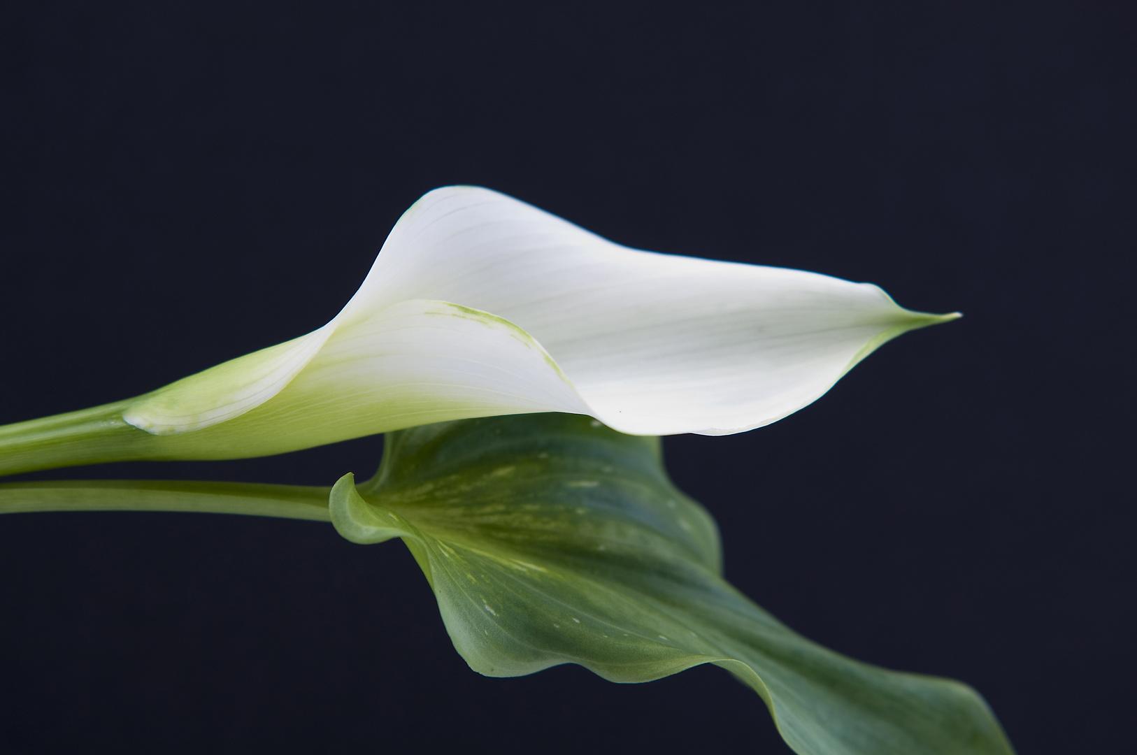 calla wei foto bild pflanzen pilze flechten bl ten kleinpflanzen zantedeschia. Black Bedroom Furniture Sets. Home Design Ideas