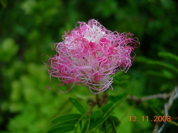 Calliandra flower - 02