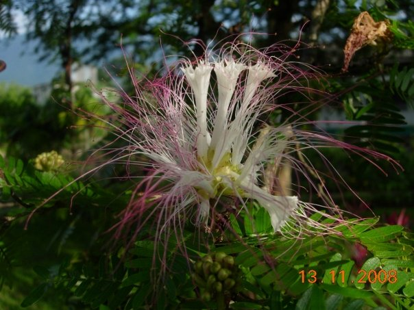 Calliandra flower - 03