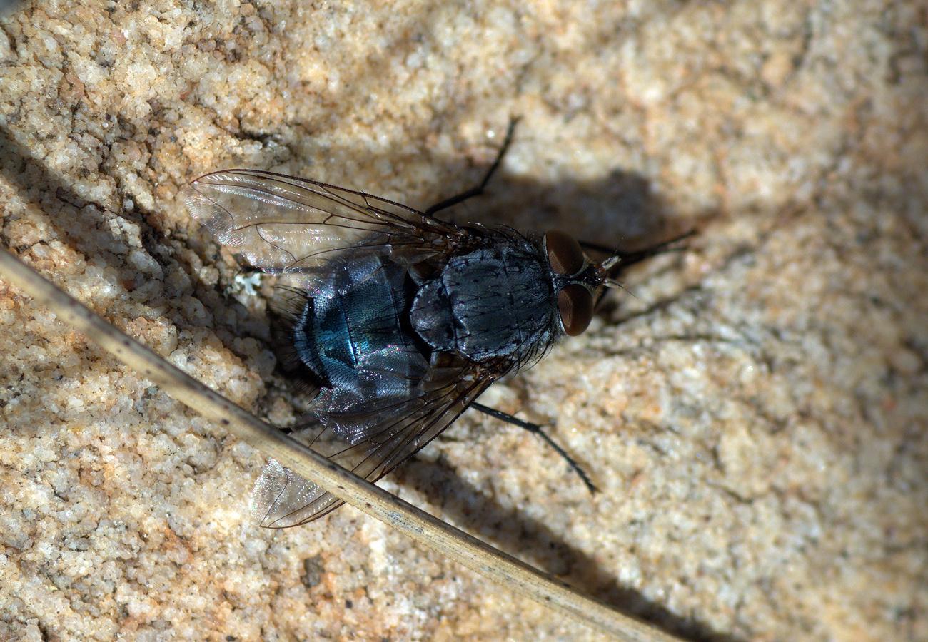 Calliphora vomitoria (mosca azul de la carne)