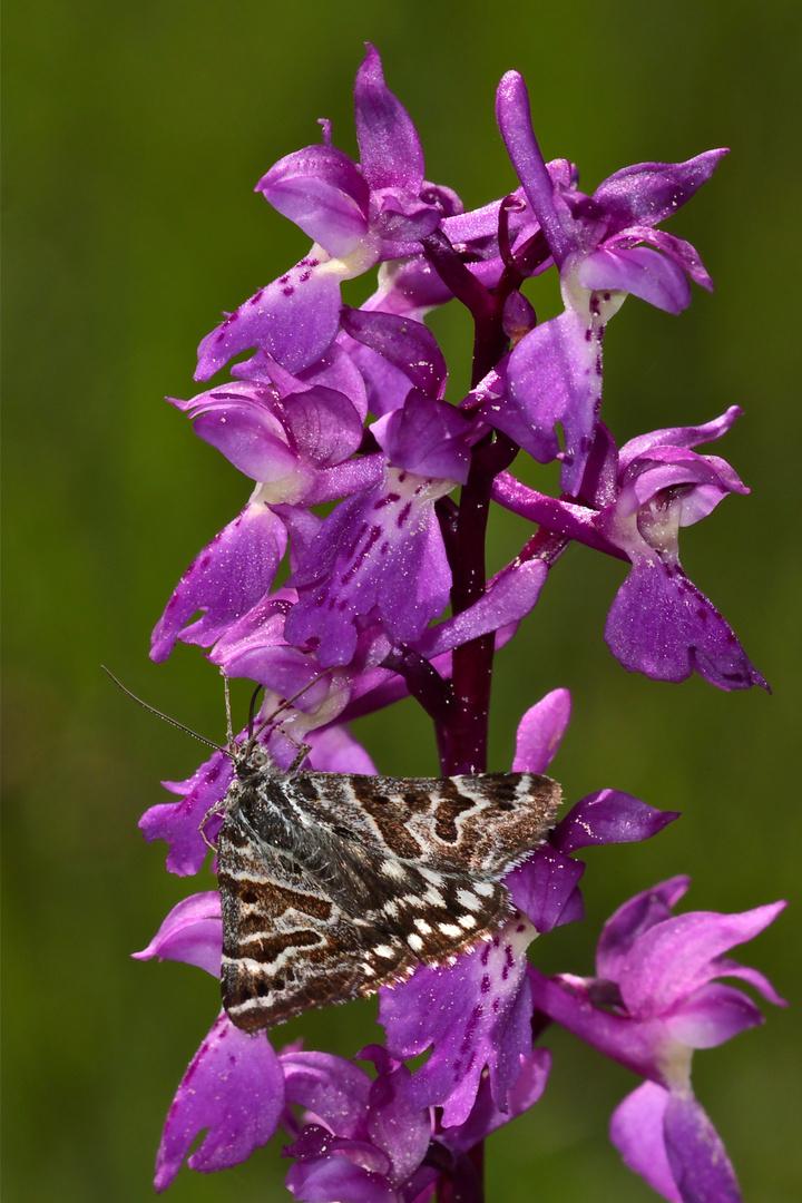 Callistege mi, ein Eulenfalter (Noctuidae), auf Mannsknabenkraut (Orchis mascula)