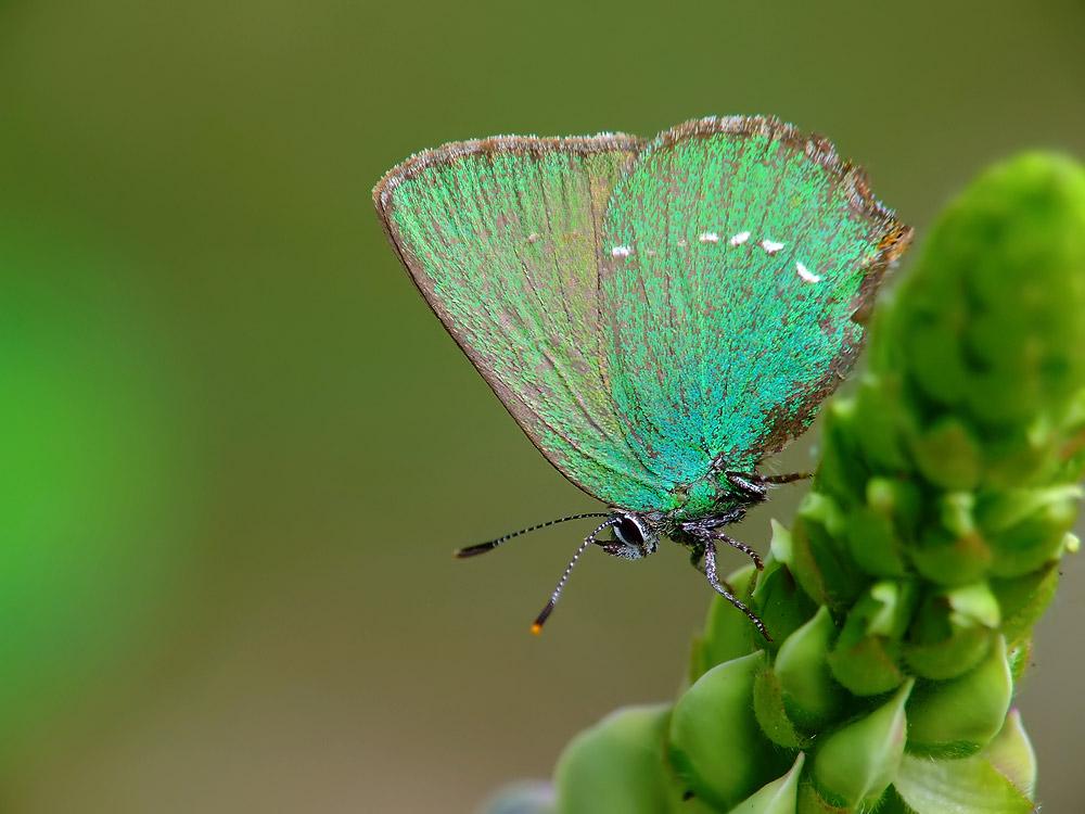 Callophrys rubi - Schmuck für die Mädels, Grüner Goldglanz für den Skywalker :)