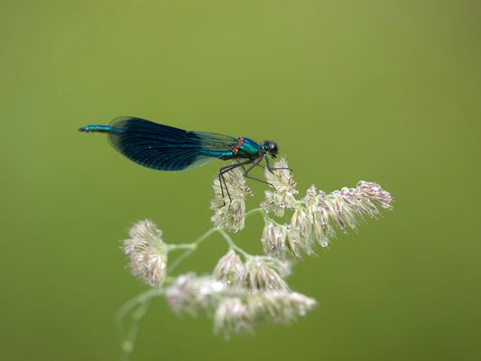 Callopteryx après la pluie sur une graminée