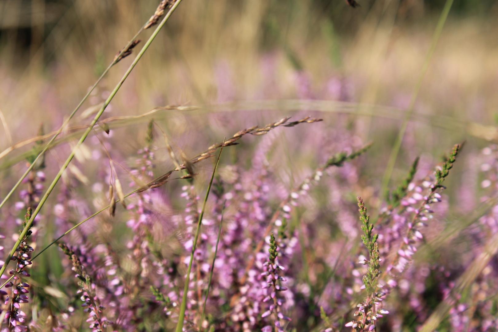 Calluna vulgaris II