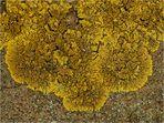 Caloplaca decipiens (1)