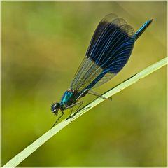 Caloptérix éclatant mâle