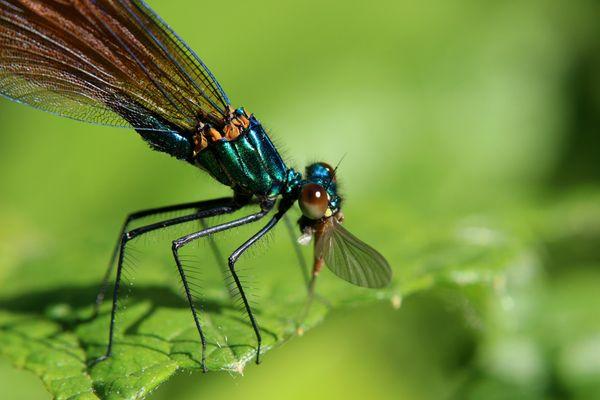 Calopteryx dégustant un moustique