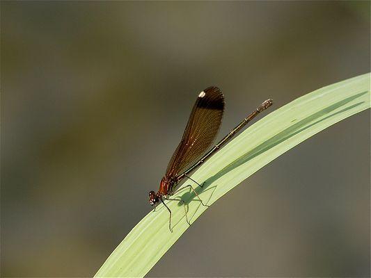 Calopteryx haemorrhoidalis (hembra)