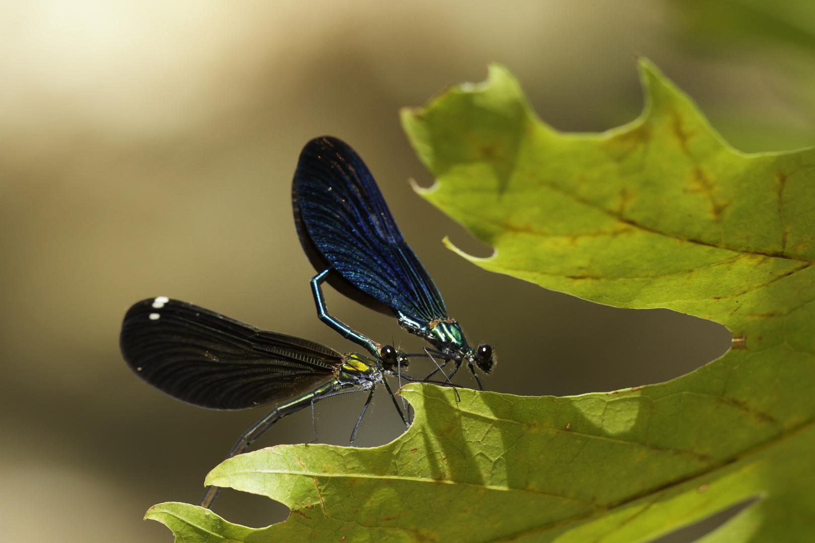Calopteryx-Paarungsrad
